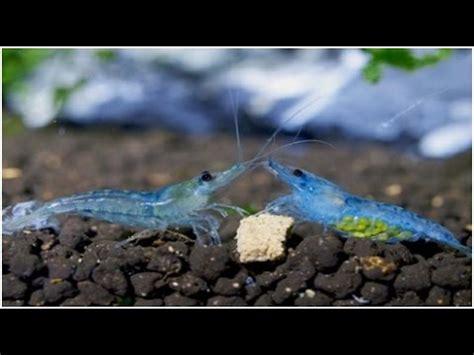 Gambas Neocaridinas Blue Jelly Gambario 25 litros - YouTube