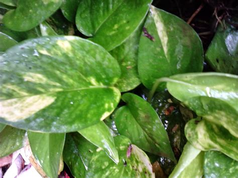 Garden Care Simplified: Why Money Plant Rules as Feng Shui ...