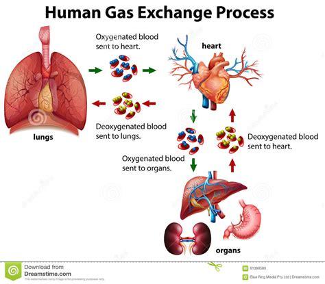 Gas Exchange Diagram   Bing images