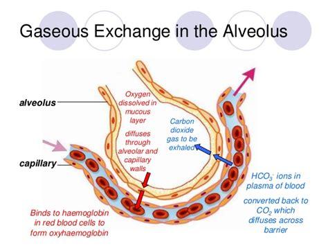 Gaseous Exchange at Alveolar Level   Bing images
