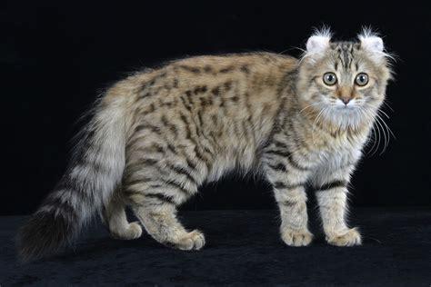 Gato American curl   Animales. Mascotas. | Mercafauna