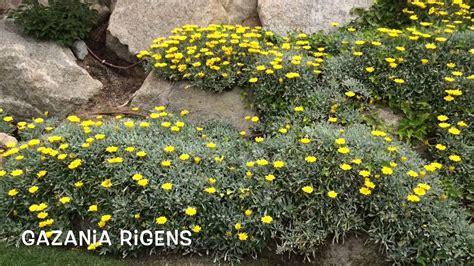 Gazania Rigens. Garden Center online Costa Brava   Girona ...