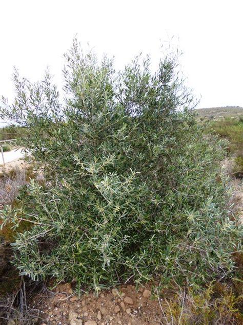GC4X38N El Acebuche. Especies arbustivas Paraje Odiel ...