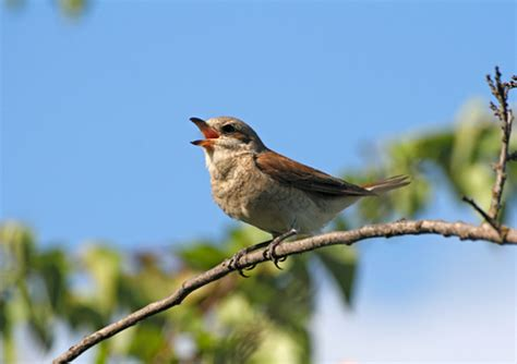 General Knowledge: Why do Birds Sing?