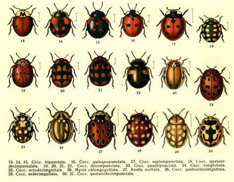 genetics - Why do ladybugs have a different number of ...