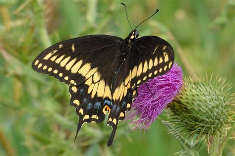 Giant Swallowtail Butterfly Papiliocresphontes Pictures