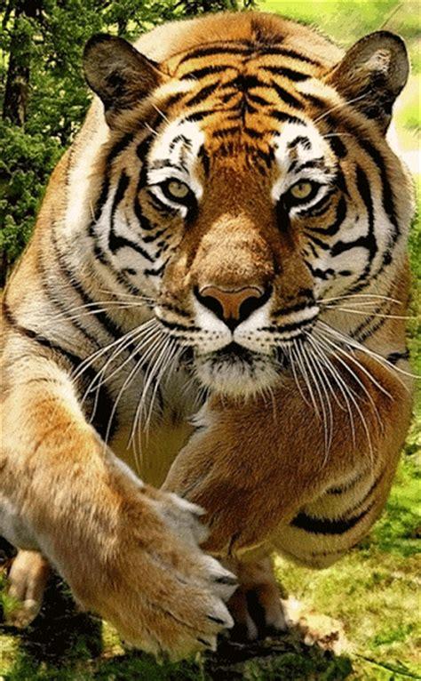 GIF: Tigre en movimiento  Gif #4567
