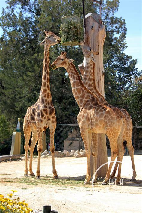 Girafas no Zoo Jardim Zoológico de Lisboa 22 03 2012 Foto ...