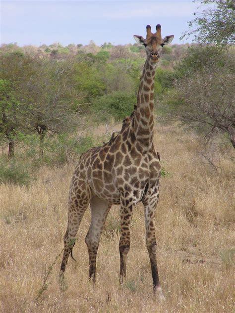Giraffa giraffa - Wikipedia