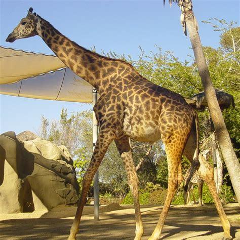 Giraffa tippelskirchi - Wikipedia