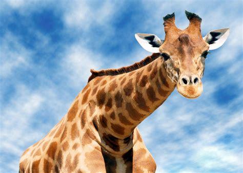 giraffe - 100 More Photos