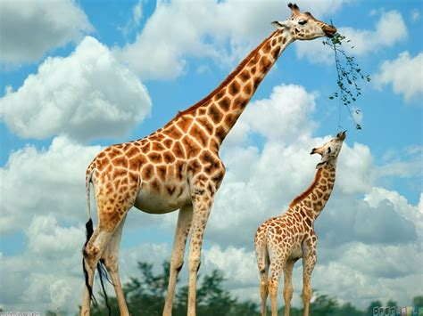 Giraffe and baby giraffe wallpaper #1104 - Open Walls