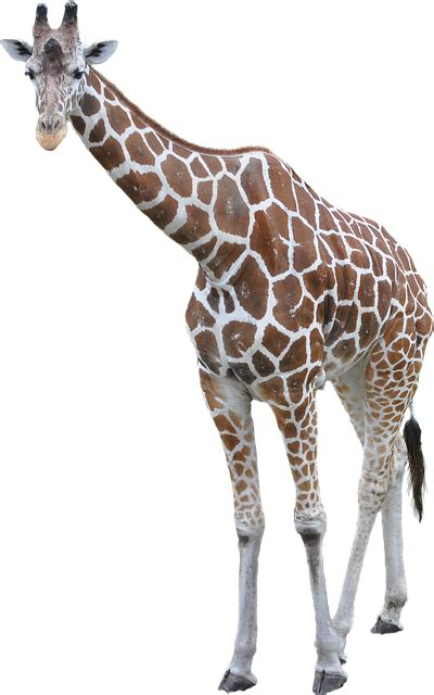 Giraffe Animal African · Free photo on Pixabay
