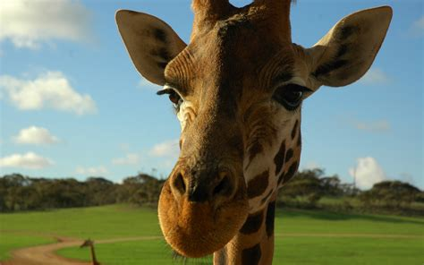 Giraffe   Animals Wallpaper  13129558    Fanpop