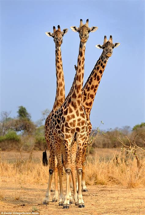 Giraffe appears to have three heads in safari snap | Daily ...