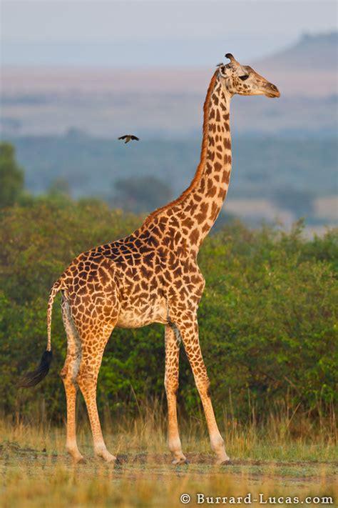 Giraffe - Burrard-Lucas Photography