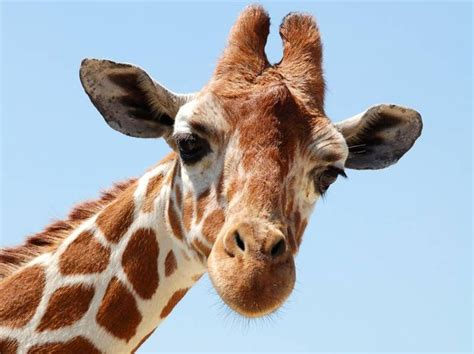 giraffe face   Google Search | DCC Kid s Camp  15 ...