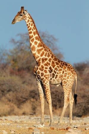 Giraffe Facts & Photos
