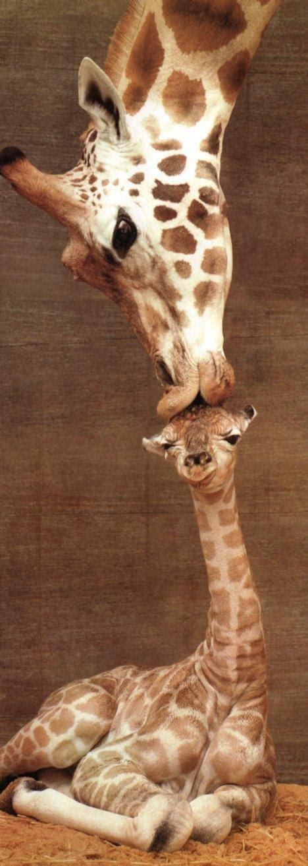 Giraffe (Giraffa camelopardalis){!--기린--> mother kissing ...