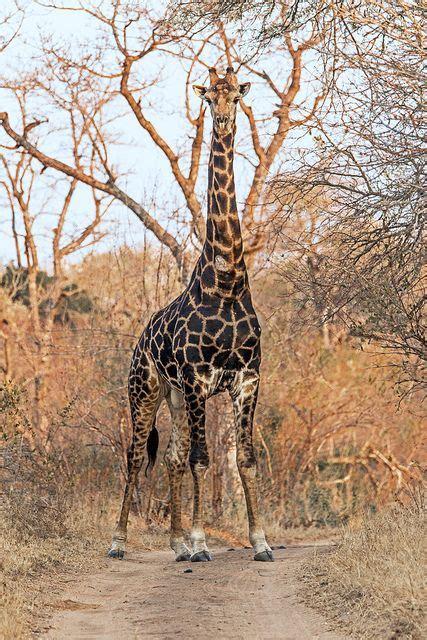 Giraffe | Jirafas | Pinterest | Animales terrestres ...