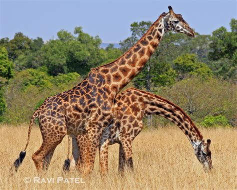 Giraffe | Photos by Ravi
