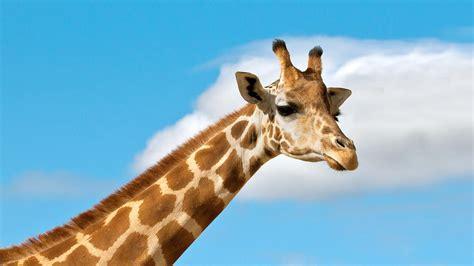 Giraffe | San Diego Zoo Animals & Plants