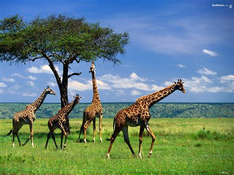 giraffe   The Animal Kingdom Wallpaper  250716    Fanpop