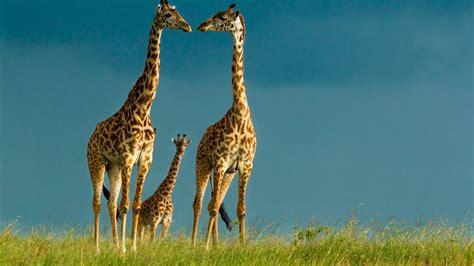 Giraffe wallpaper | 1920x1080 | #46228