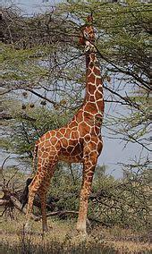 Giraffe - Wikipedia