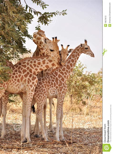 Giraffe With Two Babies,Koure, Niger Stock Photo - Image ...