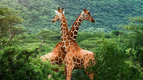 Giraffes Cute Images 2013 | Funny And Cute Animals