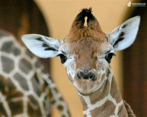 Giraffes images Giraffes HD wallpaper and background ...