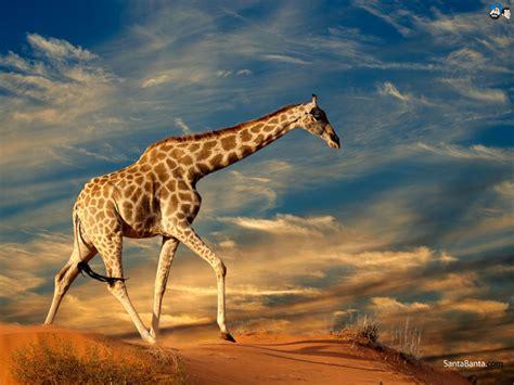 Giraffes Wallpaper #2