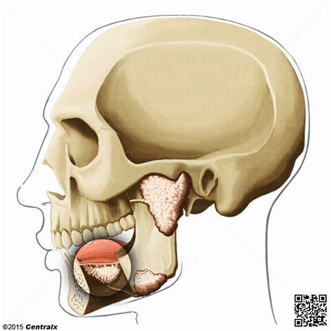 Glándula Sublingual   Atlas de Anatomía del Cuerpo Humano ...
