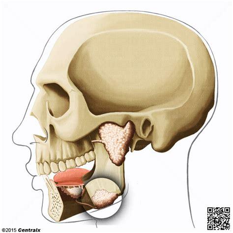 Glándula Submandibular   Atlas de Anatomía del Cuerpo ...