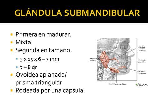 GLÁNDULA SUBMANDIBULAR, SUBLINGUAL Y GLÁNDULAS SALIVALES ...