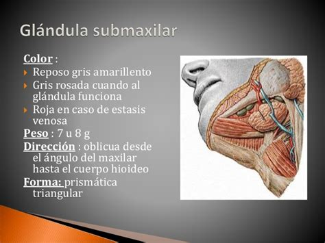 Glándula submaxilar y glándula sublingual