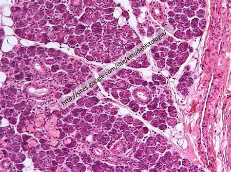 Glândulas Salivares | atlasdehistologia