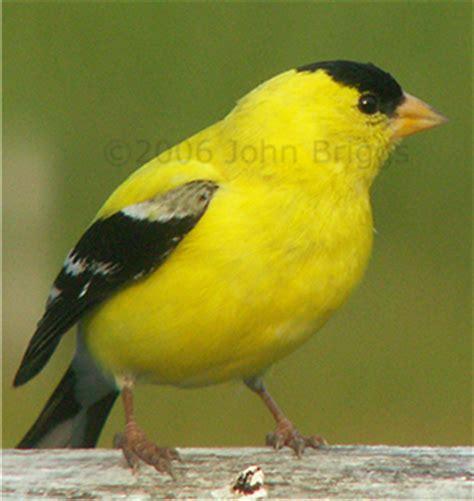 Gold Finch Closeup — Birding in Maine