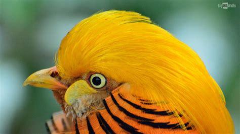 Golden Pheasant Exotic Bird HD Wallpaper | BigHDWalls