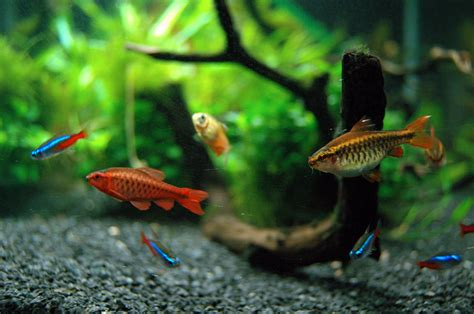 Good First Fish for Your Home Aquarium