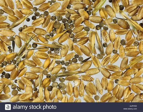 Grain quality wild oats Avena fatua and cleavers ...