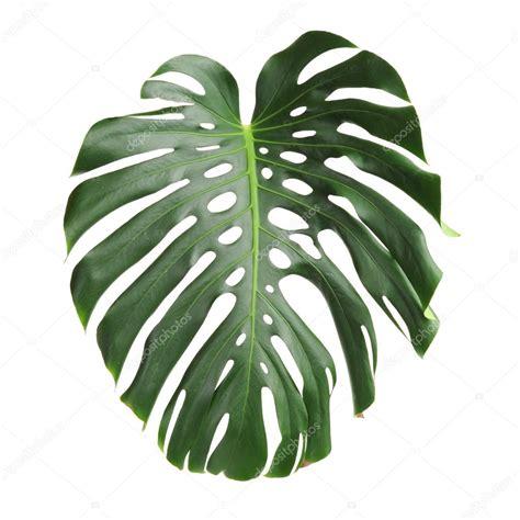 grandes hojas verdes de la planta monstera — Fotos de ...