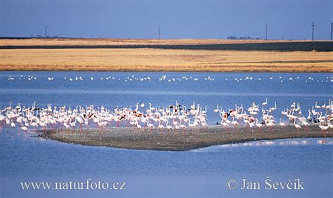 Greater Flamingo Pictures, Greater Flamingo Images ...