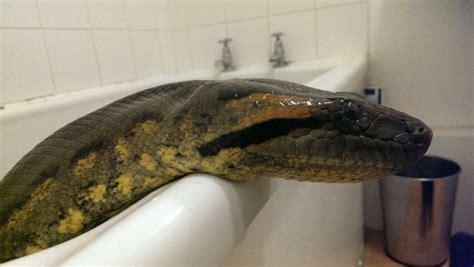 Green Anaconda  Female   CB05   NO VIV    Worksop ...