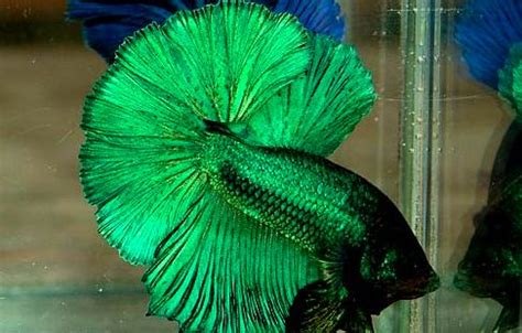 green betta fish so I can call him Mojito :) | betas fish ...