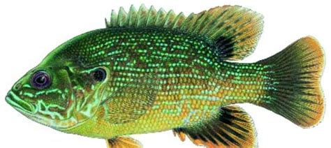 GREEN SUNFISH / Fish Species / Fishing / KDWPT - KDWPT