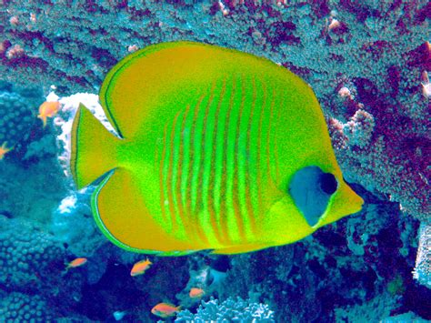 Green Tang Fish