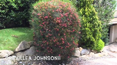 Grevillea johnsonii. Garden Center online Costa Brava ...