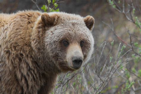 Grizzly bear savagely attacks forestry worker, who gets ...